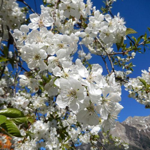 Blumen Passeiertal